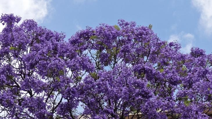 Where To See Melbourne S Jacaranda Trees In Full Bloom Ellaslist